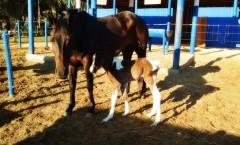 Paint Horse  QM